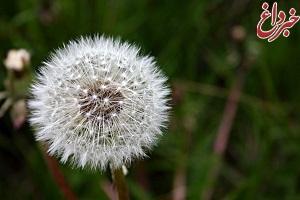 با خواص شگفتانگیز گیاه قاصدک آشنا شوید+تصویر