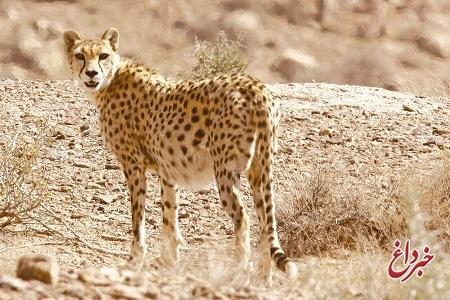 محیط زیست: برای سومین بار از ابتدای امسال، یوزپلنگ ایرانی در خراسان شمالی مشاهده شد